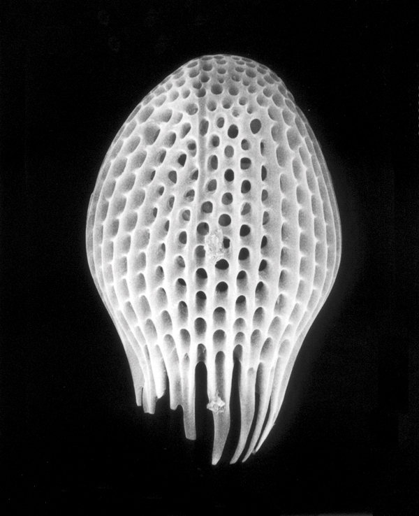 Claudia Fährenkemper, Radiolaria (600x), 2005, from the series Planktos, 20 x 25 cm, silver prints on fibre-based paper. © Claudia Fährenkemper