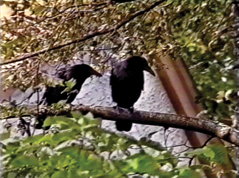 David Askevold, Don't Eat Crow, 1994, video still / image tirée de la vidéo, 28:30 min., courtesy of / permission de Collection of the Canadian Museum of Contemporary Photography. © David Askevold