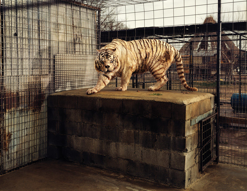 Taryn Simon, White Tiger (Kenny), Selective Inbreeding, Turpentine Creek Wildlife Refuge and Foundation, Eureka Springs, Arkansas, 2007, de la série / from the series An American Index of the Hidden and Unfamiliar, épreuve chromogénique / c-print, 95 x 113 cm, © Taryn Simon, permission de / courtesy of Gagosian Gallery. In the United States, all living white tigers are the result of selective inbreeding to artificially create the genetic conditions that lead to white fur, ice-blue eyes and a pink nose. Kenny was born to a breeder in Bentonville, Arkansas on February 3, 1999. As a result of inbreeding, Kenny is mentally retarded and has significant physical limitations. Due to his deep-set nose, he has difficulty breathing and closing his jaw, his teeth are severely malformed and he limps from abnormal bone structure in his forearms. The three other tigers in Kenny's litter are not considered to be quality white tigers as they are yellow-coated, cross-eyed, and knock-kneed. Aux États-Unis, tous les tigres blancs vivants sont issus de croisements consanguins destinés à obtenir artificiel le ment leurs caractéristiques génétiques : fourrure blanche, yeux bleu clair, museau rose. Kenny est né chez un reproducteur de Betonville, en Arkansas, le 3 février 1999. À cause de la consanguinité, Kenny souffre de handicaps mentaux et physiques. Son museau enfoncé l'empêche de respirer normalement et de refermer la mâchoire ; il a les dents très déformées, et il boite à cause d'une malformation dans les os des pattes antérieures. Les trois autres tigres de la portée ne sont pas considérés comme des tigres blancs de bonne qualité, car ils ont la fourrure jaune, les genoux cagneux, et ils louchent.
