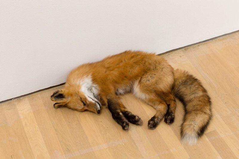 Abbas Akhavan, Fatigues, 2014. Renard empaillé / stuffed fox. Photo : Guy L'Heureux, BNLMTL