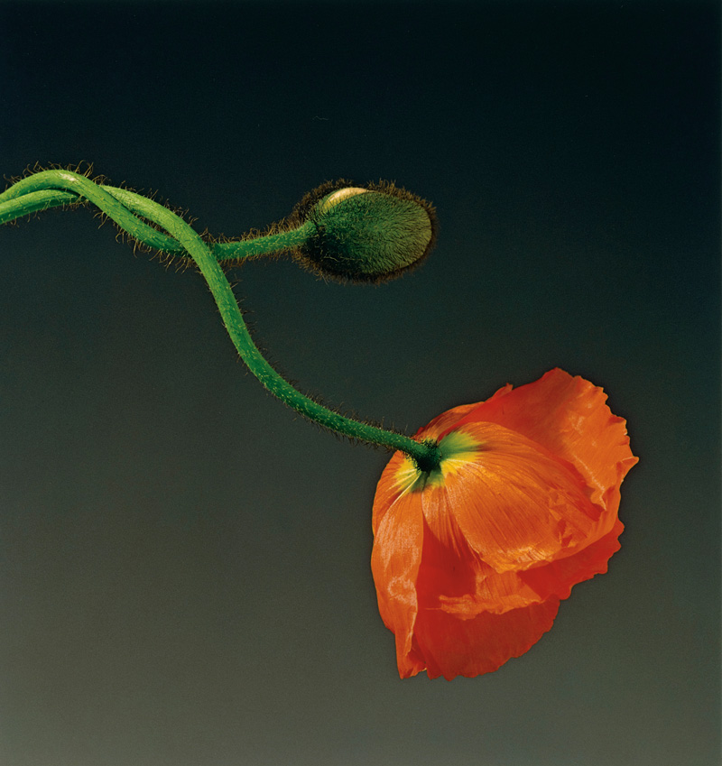 Robert Mapplethorpe, Poppy, 1988, dye imbibition print, 50 × 48 cm, jointly acquired by the J. Paul Getty Trust and the Los Angeles County Museum of Art; partial gift of The Robert Mapplethorpe Foundation; partial purchase with funds provided by the J. Paul Getty Trust and the David Geffen Foundation 2011.9.39 © Robert Mapplethorpe Foundation
