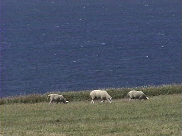 Michael Snow, Sheeploop, 2000, video still / photo de vidéo, 15 min (continuous loop), silent / (boucle), muet