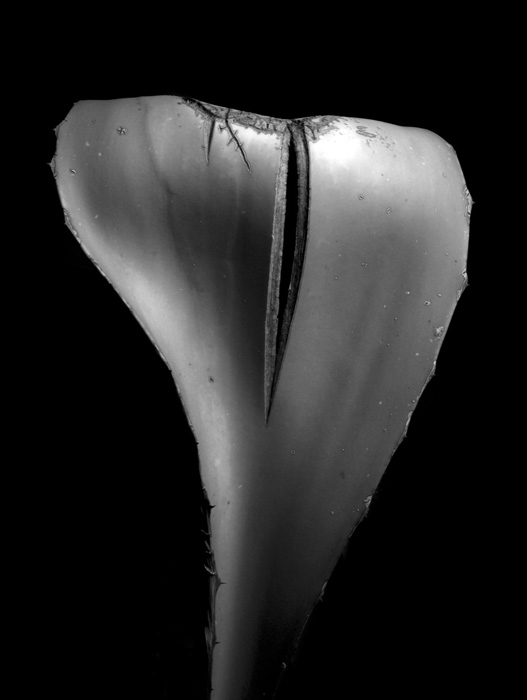 Linda Rutenberg, Marked Cactus Leaf, 2018.