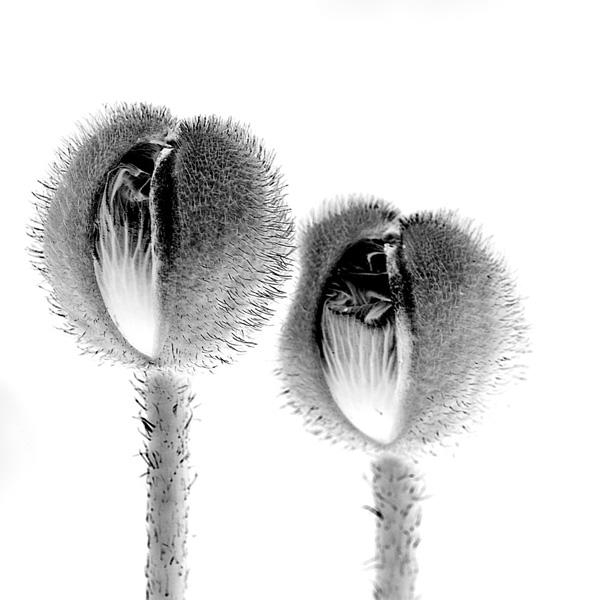 Linda Rutenberg, Double Poppy, 2018.